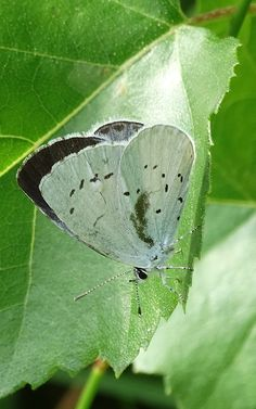 Holly Blue (Celastrina argiolus) Boomblauwtje (Photo by Jerdek©)