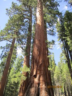Redwoods of California!  Been to CA, but never did get to go see the gorgeous redwood trees!  ''I think that I shall never see a poem as lovely as a tree...'' ~ Joyce Kilmer ~ (An American male poet, journalist, editor, etc.)