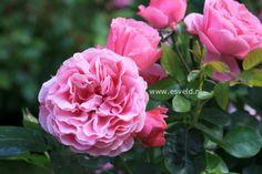 Rosa 'Meideauri' (LEONARDO DA VINCI) zeer gevuldbloemige sterke trosroos. De hoogte na 10 jaar is 125 cm. De bloemkleur is framboosrose. De bloeiperiode is juni - september. Deze plant is zeer winterhard
