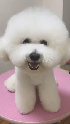 Bichon Dog, Maltese Puppies, Yorkie Dogs, Cute Dogs And Puppies, Doggies, Pet Dogs, Cortes Poodle, Bichons, Pet Fashion