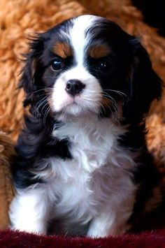 Tri -Colour CKCS Puppy.   CUTIE.xx