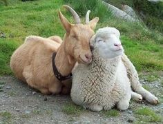 """Question: """"What is the meaning of the Parable of the Sheep and Goats?""""Answer: In studying the Parable of the Sheep and Goats (Matthew let's take a look at just what a parable… Happy Animals, Farm Animals, Animals And Pets, Funny Animals, Cute Animals, Animal Memes, Beautiful Creatures, Animals Beautiful, Animal Pictures"""