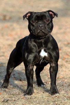 Staffy so staunch Staffy Bull Terrier, Staffy Dog, Terrier Breeds, Dog Breeds, Terrier Mix, American Staffordshire Bull Terrier, Bully Dog, Puppies, Chihuahua Dogs