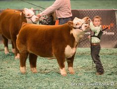 From Legacy Livestock Imaging   Mini Herefords At Houston Livestock Show by MLC   Cattle BlogsCattle Blogs