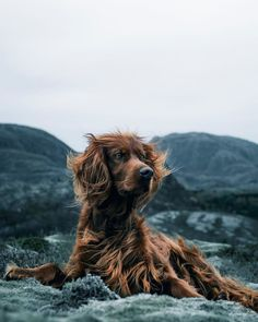 Most of us will agree - dogs are awesome. And that's exactly what Troja, an Irish Setter with a passion for treats and adventures, is. Puppy Gifts, Dog Lover Gifts, Dog Gifts, Dog Lovers, Irish Setter Dogs, Loss Of Dog, Dog Socks, Dog Agility, Family Dogs
