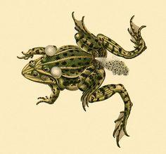 Frog Fertilisation