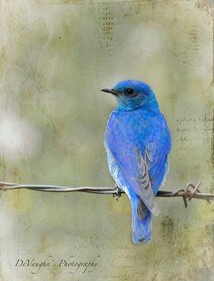 A bluebird.