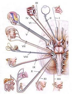 Discovered by ღ Ma. Virginia ღ. Find images and videos about medicine and cranial nerves on We Heart It - the app to get lost in what you love.