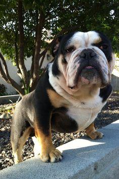 english bulldog colors - Bing Images