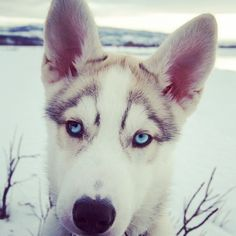 Got my eyes on you. #blueeyes #siberianhusky #husky #puppylove