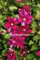 Nirwana, nyhet 2016! Clematis, Plants, Pink, Planters, Plant, Planting