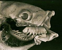 The parasite Cymothoa exigua (aka tongue-eating louse) enters the greater weever fish through its gills, attaches itself to the fish's tongue and then eats the tongue. Once the tongue has gone the louse clamps itself to the remaining stub of the tongue and lives in fish's mouth for the rest of its life, taking a share of food that the fish eats. The weever can apparently live in this symbiotic relationship with no ill-effects. It's the only case of a parasite replacing another animal's…