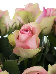 Belle Rosé-Rosen verzaubern mit ihrem zarten, rosafarbenen Blütenherz und ihren leicht cremefarbenen Blütenblätterspitzen. …