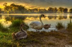 Swan Family Photo on Lake Savica-Swans are among the largest flying birds and they closest relatives include ducks and geese. They usually mate for life. This beautiful swan family photo was taken at the Lake Savica near Zagreb.