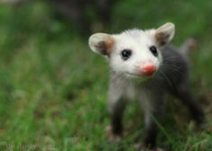 Are you enjoying these Opossum pics. then check out The Dainty Squid Cute Baby Animals, Funny Animals, Baby Opossum, Fantastic Beasts, Animal Memes, Pet Birds, Animal Pictures, Cute Babies, Wildlife