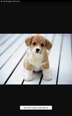 In This site you can search all pets breed information,cute cats,cute dogs ,cute puppies and kittens picture etc. Cute Baby Animals, Animals And Pets, Funny Animals, Nature Animals, Wild Animals, Little Puppies, Dogs And Puppies, Beagle Puppies, Corgi Mix