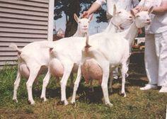 Raising Goats for Milk