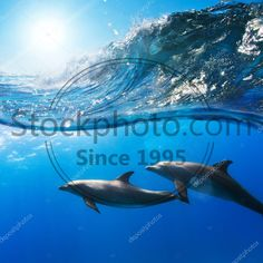 Stock photo of two funny dolphins smiling underwater very close the camera - Two beautiful dolphins swimming underwater through sunrays with breaking wave above Funny Dolphin, 3d Flooring, Dolphins, Underwater, Whale, Swimming, Stock Photos, Illustration, Movie Posters
