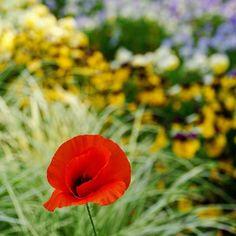 #可憐 な #ポピー  #パンジー や #ネモフィラ との #コラボ が #美しい  #ひたち海浜公園 #ひたちなか海浜公園 #茨城 #花  #poppy #flower #flowers #hitachinakaseasidepark #ibaraki