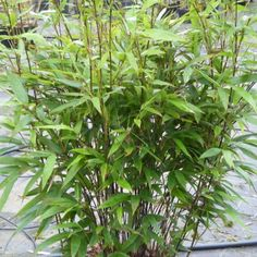 Black caned Bamboo plants. Delivery by Charellagardens