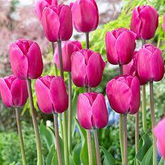 Tulipan 'Don Juan'