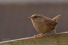 Wren by gerardnicolai #animals #animal #pet #pets #animales #animallovers #photooftheday #amazing #picoftheday