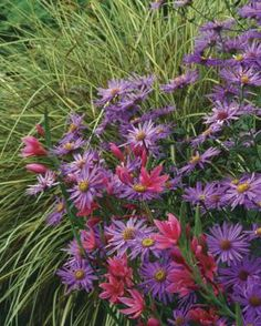 1. Japanese sedge (Carex morrowii cv.,  Z 5–9) 2. 'Mönch' aster (Aster X frikartii 'Mönch', Z 5–8) 3. 'Oregon Sunset' crimson flag (Schizostylis coccinea 'Oregon Sunset', Z 7–9)  Read more: http://www.finegardening.com/fall-fireworks#ixzz3JSBf52E5  Follow us: @fhbweb on Twitter | FineHomebuildingMagazine on Facebook