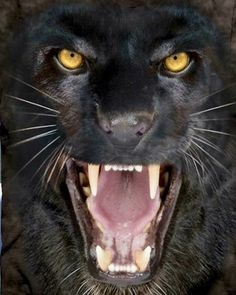 Black Panther Roars and Bears Fangs Ready To Strike T-Shirt Panther Leopard, Panther Cat, Black Panthers, Big Cats, Cool Cats, Beautiful Cats, Animals Beautiful, Animal Espiritual, Animals And Pets