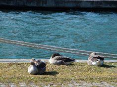 Fonds d'écran Animaux > Fonds d'écran Oiseaux - Oies Oies au bord du Canal de Bourgogne par jeromeandre - Hebus.com