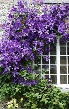 clematis..... I've been wanting one of these