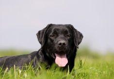 Labrador Retriever Portrait stock photo