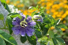 Passiflora Blue Eye