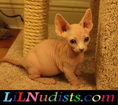 Bambino & Sphynx Hairless & Dwarf Cats & Kittens!