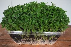 How To Grow Pea Shoots Indoors: Fresh Greens Year-Round