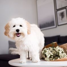 My mum was photographing the flowers for her IG account @regineforsund  and not me I dont get it.. So I jumped up on the sofa & on the table so I could be in the photo too!! Hi mum look how cute I am  - #maltipoo #maltipoopuppy #maltipoosofinstagram #maltipoos #maltese #toypoodle #poodle #instapuppy #instapet #instadog #ilovemydog #reginedog #ipad #cutenessoverload #dogs_of_instagram #dogs_features #puppysketch #animalsaddict #picoftheday #dogoftheday #dogs_of_instagram #hund #valp…