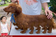 freaking dachshund | Mutation Pictures Gallery - Freaking News