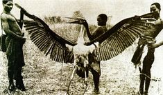 "Could this photo of a Maribu Stork be the source for all the supposed photos of a ""Thunderbird""? - KarlShuker.blogspot"