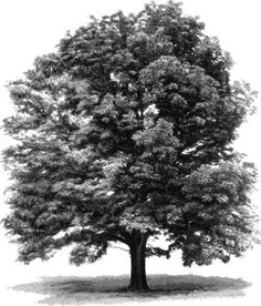 tree: white ash - Photograph:The white ash (Fraxinus americana) supplies wood for veneer and baseball bats. It has gr - Tree Drawings Pencil, Landscape Pencil Drawings, Pencil Trees, Black And White Landscape, Black And White Drawing, Black And Grey Tattoos, Nature Drawing, Plant Drawing, Ash Tree