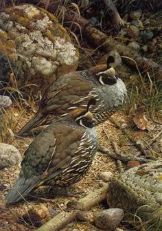 Carl Brenders - California Quail - Search Gallery One for ART limited edition prints, giclee canvases and original paintings by internationally-known artists Wildlife Paintings, Wildlife Art, Animal Paintings, Bird Pictures, Watercolor Bird, Illustrations, Bird Art, Beautiful Birds, Pet Birds