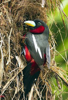 Black-and-Red Broadbill ( Cymbirhynchus macrorhynchos ) by gary1844, By (Gary Kinard)   Birds of Thailand