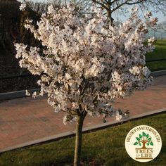 Prunus incisa 'The Bride' - Google Search