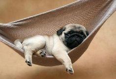 pug in a hammock