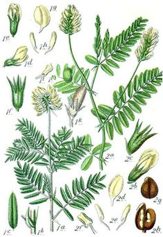Astragalus Herb and its benefits