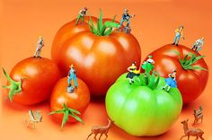 Creative photography, tomato harvest, little people on food, miniature art, band, music, dance, deer, home decor, wall art, HO scale, toy, figure, gift choice, card. By Paul Ge.