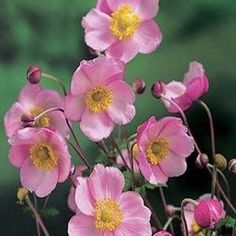 Anemone (Anemone Hupehensis Pink Saucer) - Anemone Pink Saucer features large rosy pink flowers with yellow stamens. It is among the earliest summer-flowering Anemone species available. Anemone establish nicely from flower seed and are long-lived and easy to care for.Perennial Environment: Full sun to partial shade USDA Zones: 4 - 8 Height: 24 - 36 inches