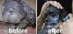 [I moaned continually as I reviewed these photos. Horrible to let these animals get to this condition, and amazing how good they look with a little care and love!] Unbelievable Before & After Rescue Dog Transformations