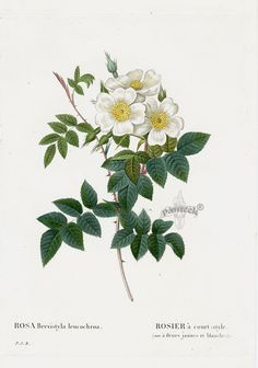 Rosa bervistyla Rose from Les Roses by Pierre Joseph Redouté, published in Paris 1828. Antique botanical rose illustration.