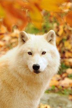 Gorgeous Wolf ¡ un lobo blanco, me encantan los animales blancos !
