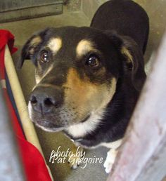 A4403354 My name is Dee. I am a very friendly 5 yr old spayed female black/tan Labrador Retriever mix. My owner left me here on April 29. available 5/3/15 (48 lbs) Baldwin Park shelter Open  https://www.facebook.com/photo.php?fbid=963089620369542&set=a.705235432821630&type=3&theater