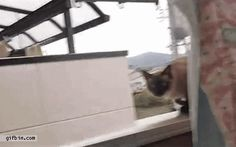 Cat jumps off balcony ledge  On the original video on Youtube the poster states that the cat is fine. It is OK to laugh.
